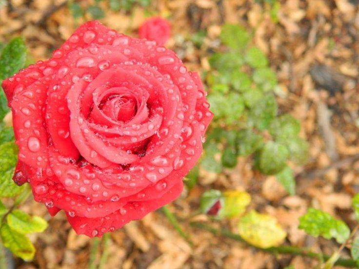 Drops on rose - by Daniel Augustyn