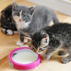chatons - Comment préparer un lait maternisé pour chaton - How to prepare formula milk for kitten
