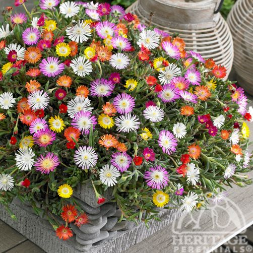 "Delosperma Jewel of Desert - ""Hardy ice plants have also been a personal favourite of mine.  With their extreme drought tolerance, super low spreading carpet growth habits and bright colours, I can find lots of places to use them."""