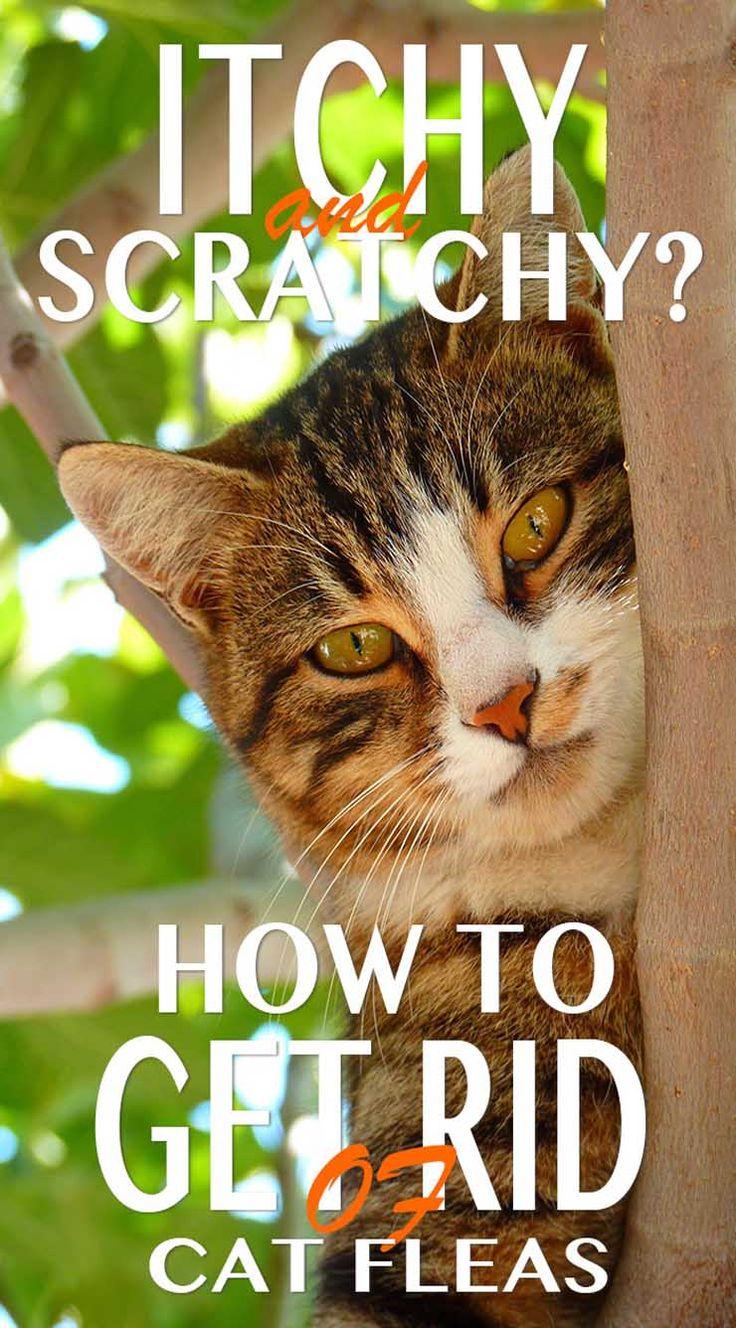Feline fleas facts cat guides cat fleas cat has fleas