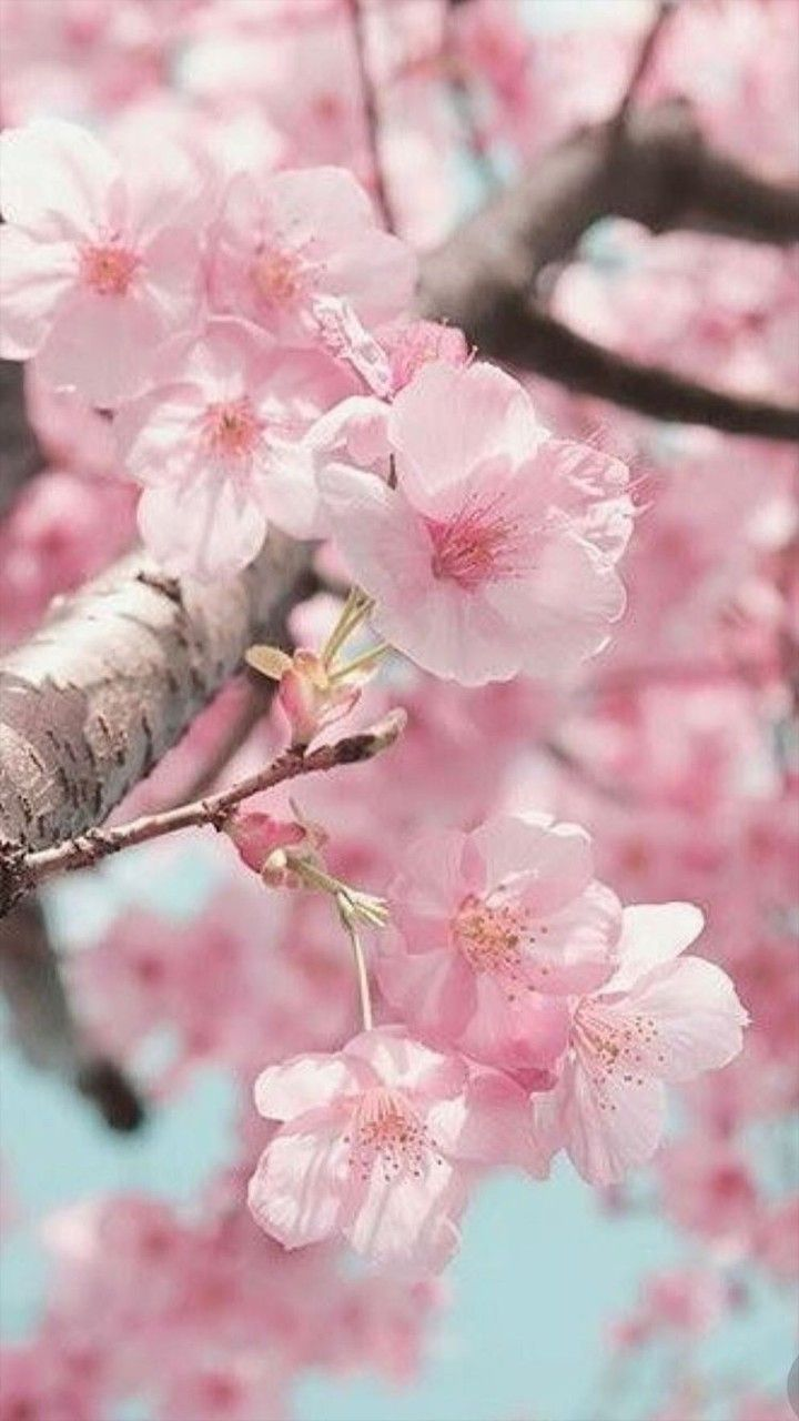 Pin By Flor On Fondos Cherry Blossom Wallpaper Cherry Blossom Flowers Blossom Trees