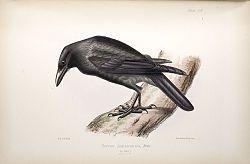 El cuervo jamaicano2 o cuervo jamaiquino (Corvus jamaicensis) es una especie de ave paseriforme de la familia Corvidae.3 Es relativamente pequeño (35 a 38 cm de longitud). Comparte varias características morfológicas principales con dos especies de las Antillas Mayores: el cuervo cubano (Corvus nasicus) y el cuervo de la Española (Corvus leucognaphalus), que están, casi con toda seguridad, muy estrechamente relacionados con él.