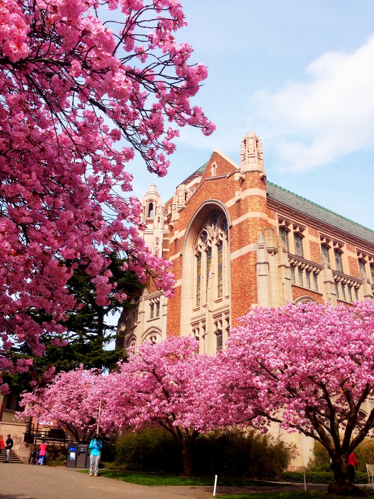 The beautiful cherry blossoms on the University of Washington Seattle campus