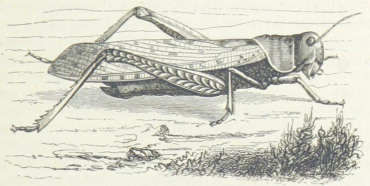Historische Zeichnung. Sketch. Bleistiftzeichnung. Wanderheuschrecke. Insekt. Bi…