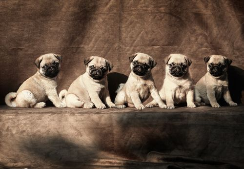 Pugs all in a line
