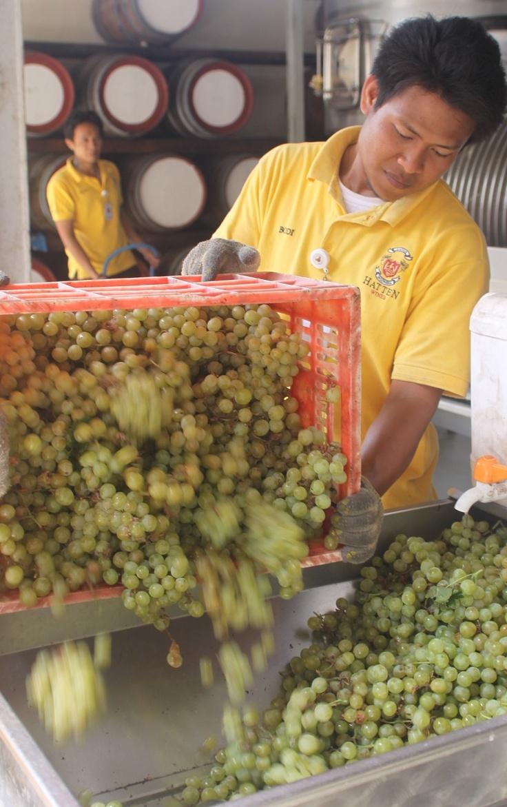 Belgia grapes crushing time!