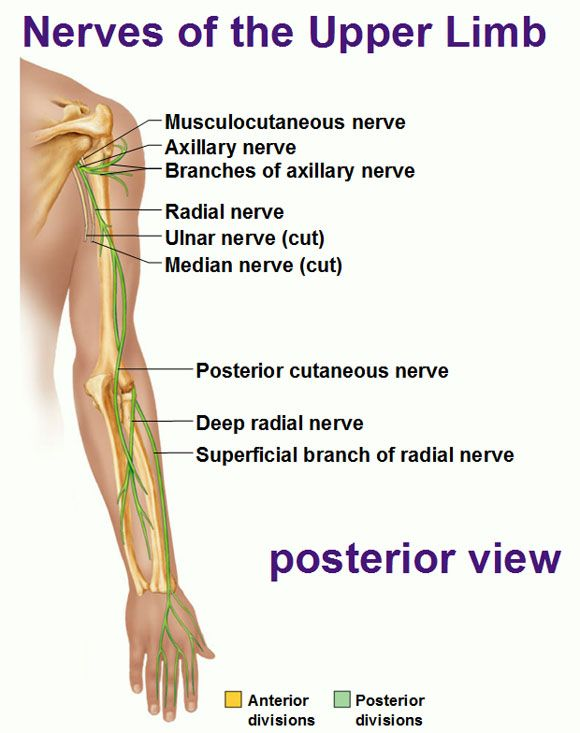 Nerves of the upper limb posterior view radial ulnar medial musculocutaneous axillary nerve.