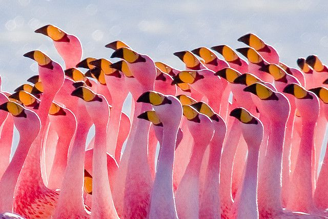 The James's Flamingo (Phoenicopterus jamesi), also known as the Puna Flamingo, is a South American flamingo, named for Harry Berkeley James