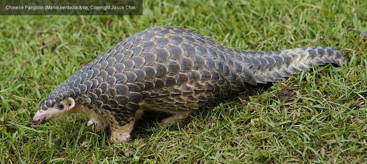 The primary threat to pangolins in Asia is illicit hunting for illegal international trade, predominantly for meat, which is considered a delicacy in some Chinese and Vietnamese cultures, and scales, used as an ingredient in traditional Asian medicines.