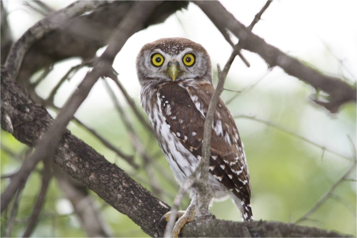 Our first Pearl Spotted Owl