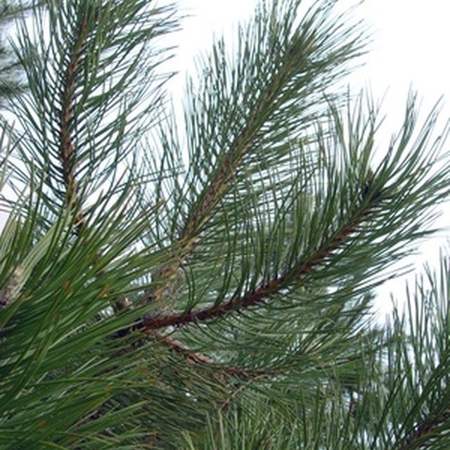 Pine trees smell nice, but they are messy.