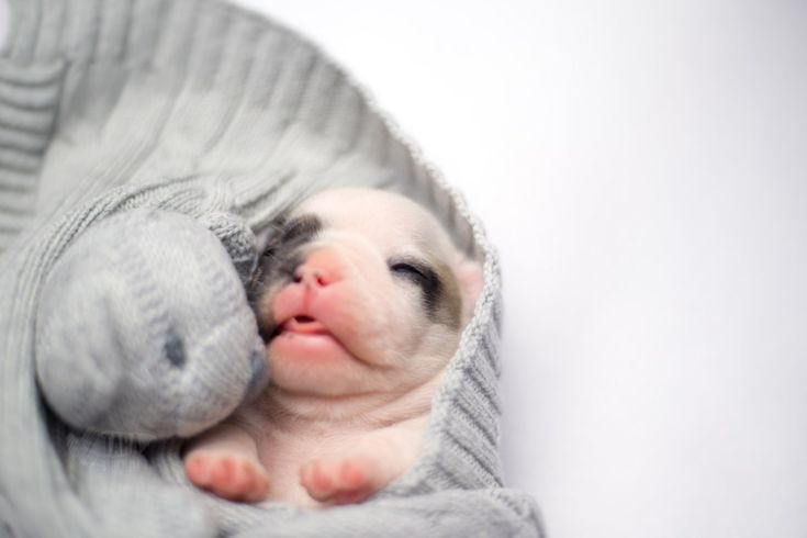 French Bulldog Puppy | Project 52: 50 – Relaxing