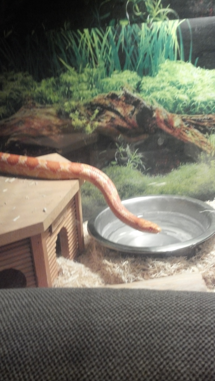 rico my albino snake.