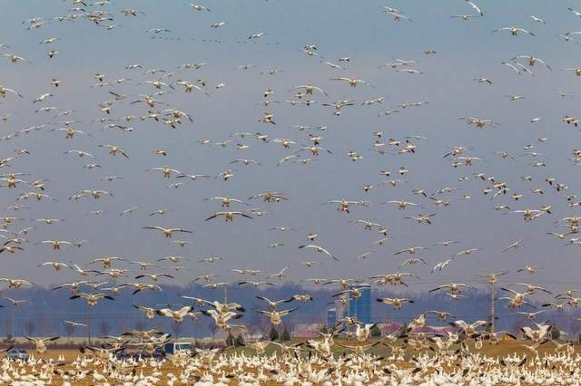 A huge flock of feeding snow geese moves from field to field east of Middletown.