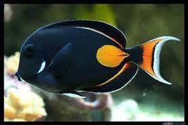 Resultado de imagem para peixes de agua salgada