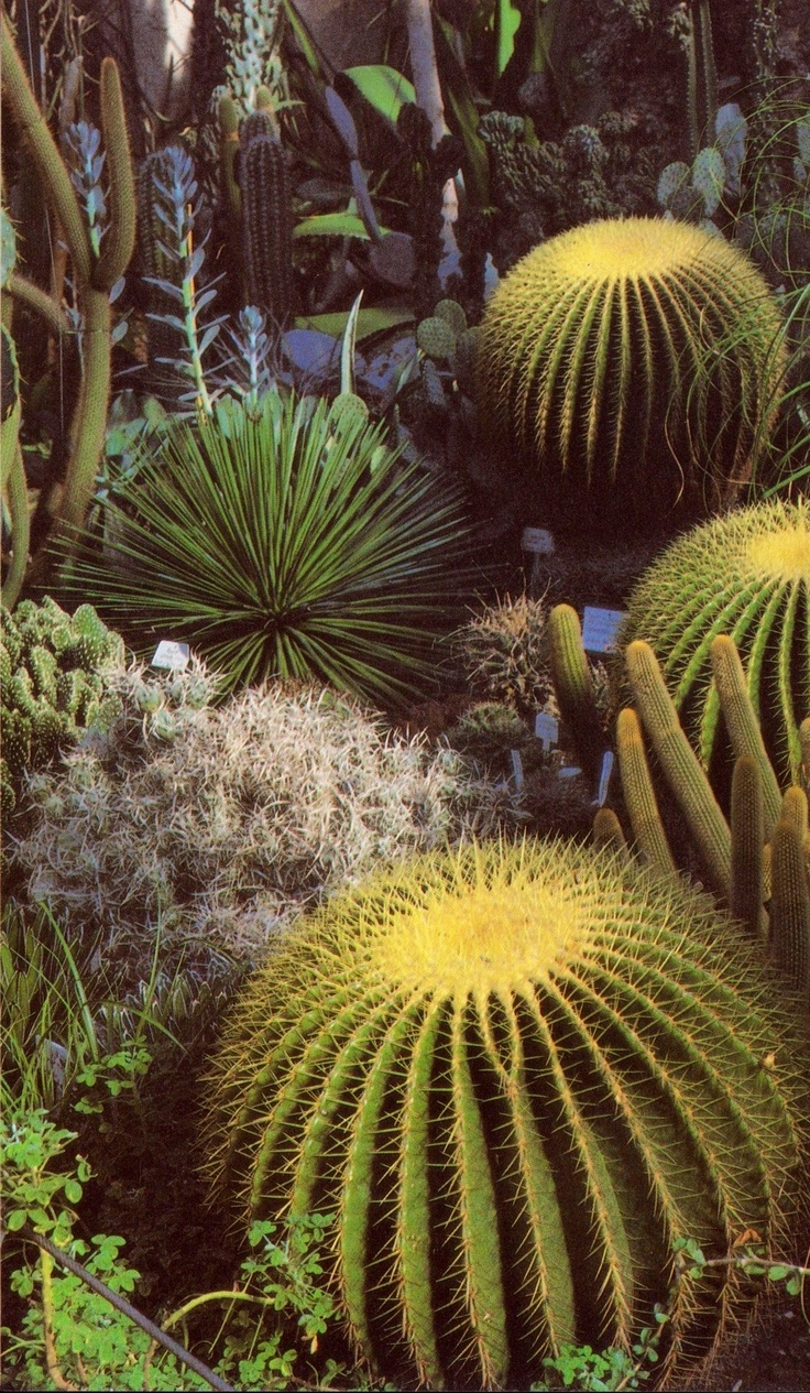 Cacti. These giant barrel cacti are some of my favorite. >>------>>AWildLife by Crystal Smith