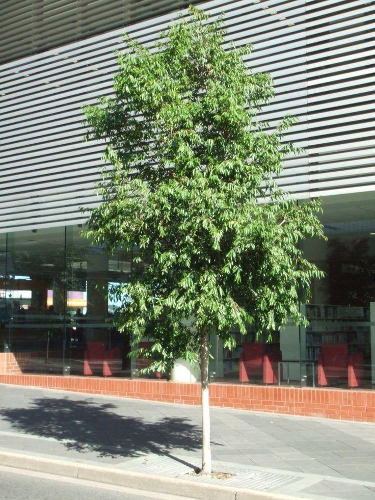 Waterhousea Floribunda Lilly Pilly Possible Evergreen
