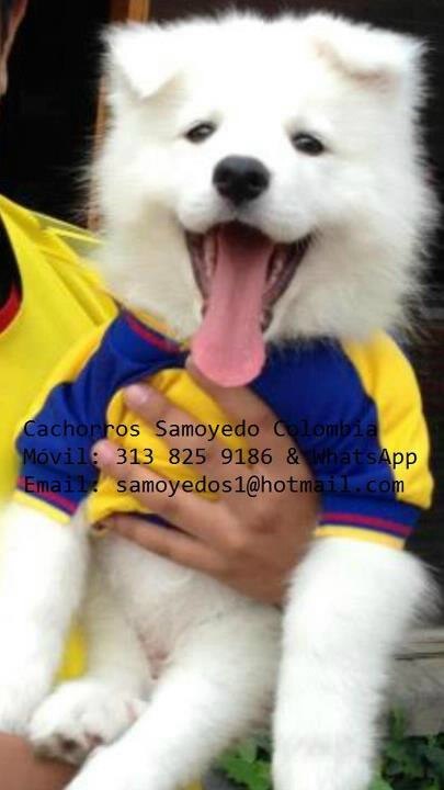 #Samoyedo #Colombia #Cachorros
