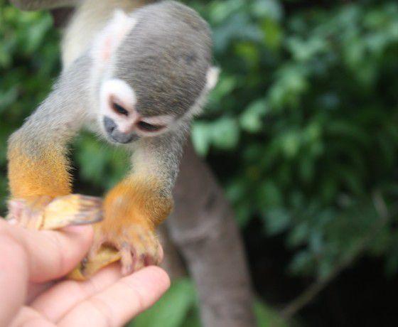 Un tierno miquito del Amazonas colombiano, tenemos que cuidar el medio ambiente