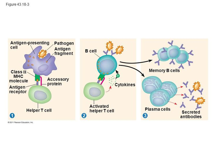 B cells as antigen presenting cells.   Fraussen J Claes N Van Wijmeersch B van Horssen J Stinissen P Hupperts R Somers V. B cells of multiple sclerosis patients induce autoreactive proinflammatory T cell responses. Clin Immunol. 2016 . pii: S1521-6616(16)30163-2 Antibody-independent B cell functions play an important role in multiple sclerosis (MS) pathogenesis. In this study B cell antigen presentation and costimulation in MS were studied. Peripheral blood B cells of MS patients showed…