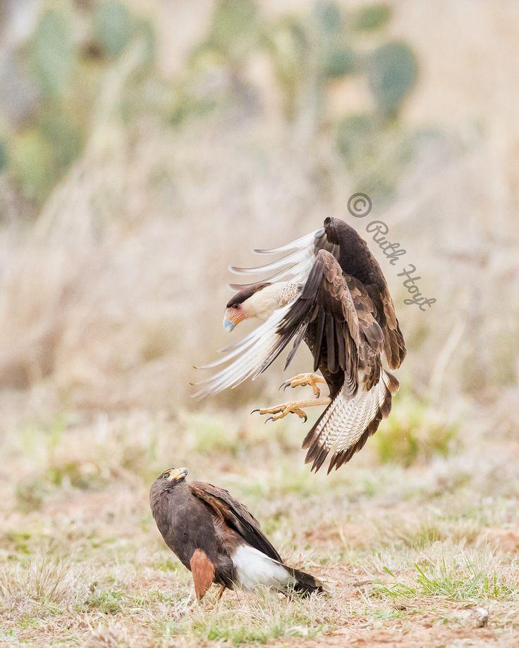 いいね!115件、コメント11件 ― Ruth Hoytさん(@ruthhoytphoto)のInstagramアカウント: 「Not too often do I see a Crested Caracara go after a Harris's Hawk! The hawk had a piece of food…」