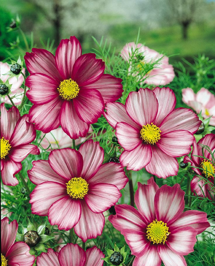 Candy Stripe Cosmos....so prettyGardens Ideas, Beautiful Flower, Pink Flower, Cosmos Bipinnatus, Daisies, Flower Gardens, Candies Stripes, Cosmos Flower, Stripes Cosmos