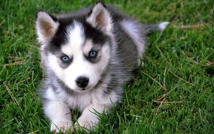 White Siberian Husky Puppy With Blue Eyes
