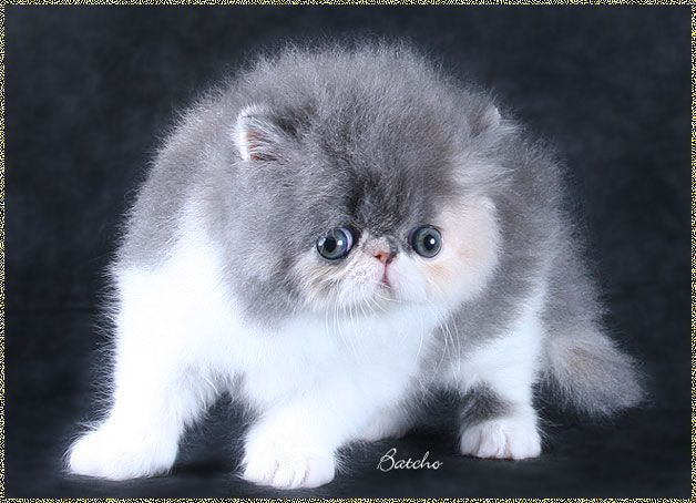 Persian cat breeders tennessee