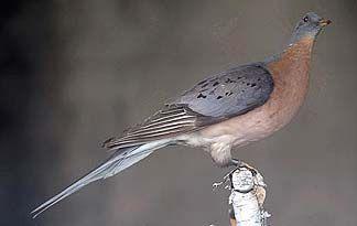 Passenger Pigeon - The last Passenger Pigeon died in a Cincinnati zoo in 1914. her name was Martha -