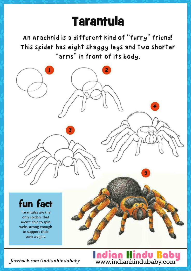 Teach your kid to draw and paint a species of spider 'Tarantula' with simple drawing tips