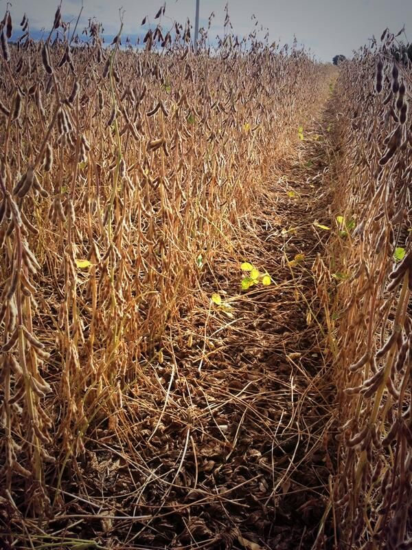 Getting closer to harvest:  @DEKALB_Canada 30-11RY in #CKOnt