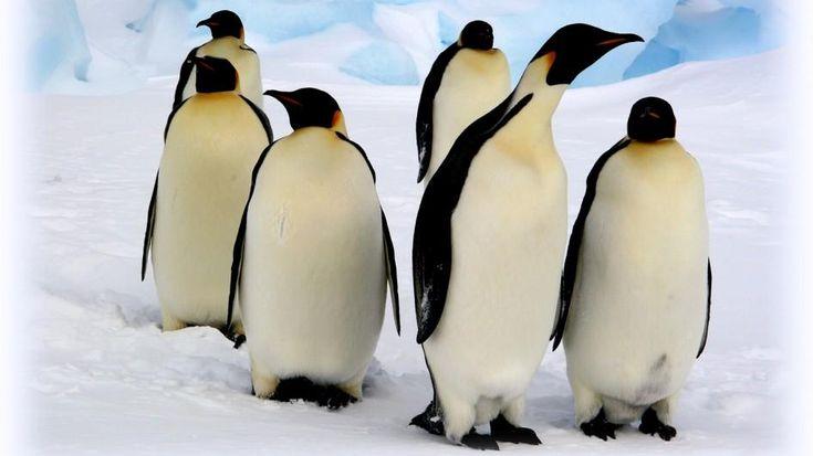 Emperor Penguin Videos