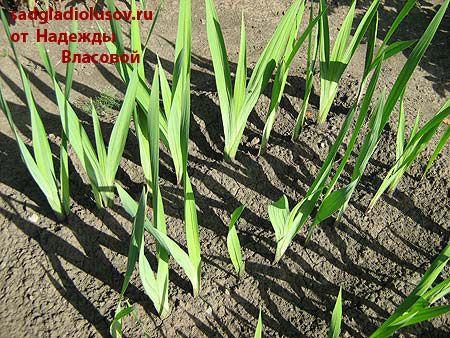 Сад гладиолусов. Уход за гладиолусами: удаление сорняков, полив, рыхление и подкормка.
