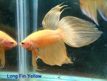 134 best images about fish betta fan tail on pinterest for Best water for betta fish
