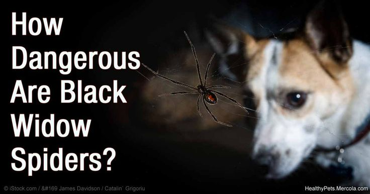 Black Widow Fatal To Cats