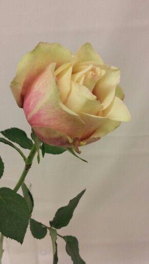 Rose - Secret Love