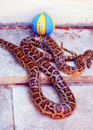 Pythons #Snakes this is what my baby is gunna look like!!(: