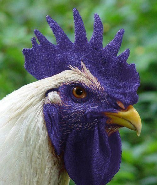 Gorgeous Rooster.