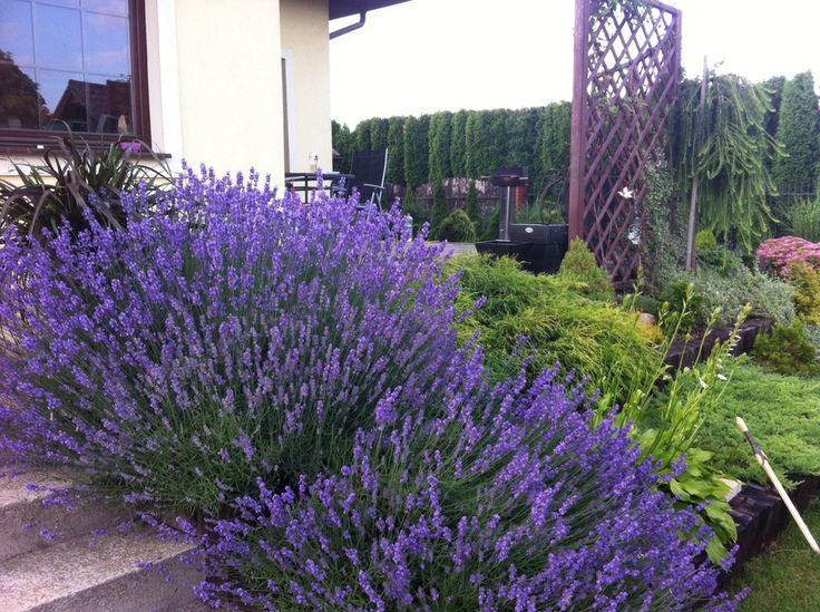 Rośliny i ogród, ogród-my love :)) - w roli głównej -lawenda :))