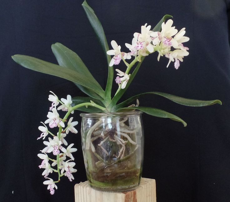 Best 56 Water Culture Orchids Images On Pinterest Orchid