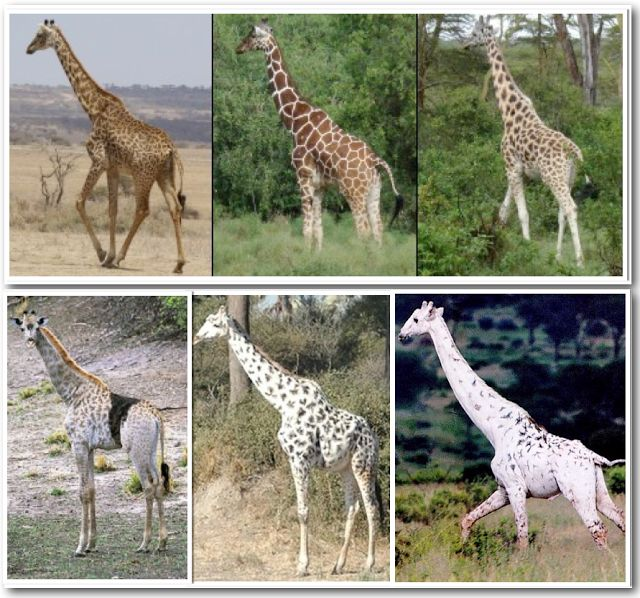 Giraffes with leucistic and somatic mutations