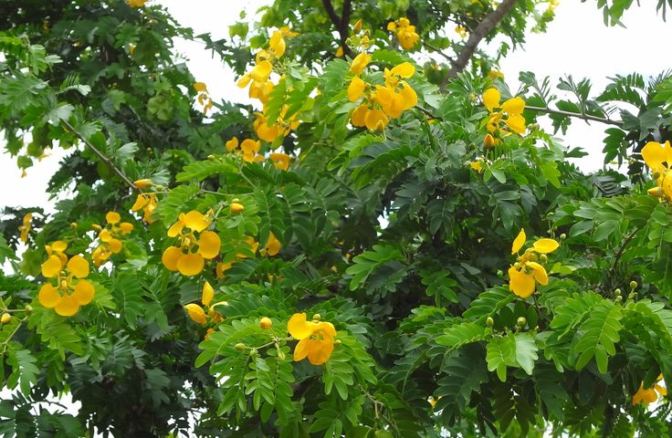 Bunches of tiny Bulnesia arborea blooms