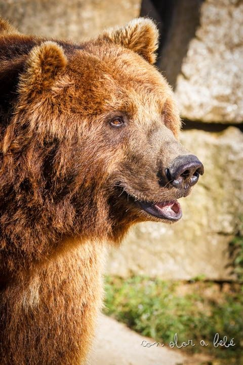 Pelayo es uno de los dos osos que residen ahora mismo en VigoZoo, Agosto'14