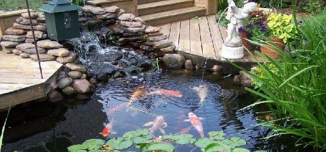 Backyard Pond Koi