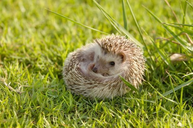 """THE SEA URCHIN IS ACTUALLY NAMED AFTER THE HEDGEHOG.   Before the more adorable name came into use, the spiky mammals were called """"urchins"""" and thus inspired the name of the similarly spiky sea creatures.  Hannah Keyser -- Mental Floss"""
