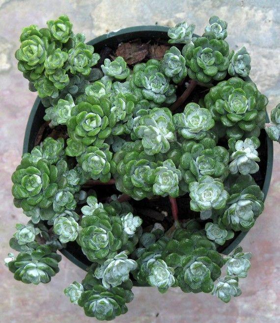 Sedum spathulifolium 'Cape Blanco' - Succulent Plant Stonecrop...Estsy.  I'll be looking for this one!