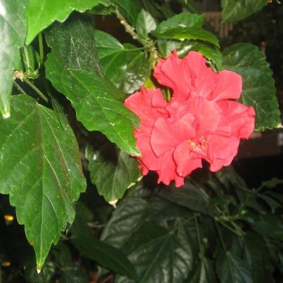 A lovely bloom inside our tropical courtyard.