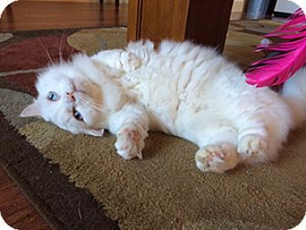 Metairie, LA - Munchkin. Meet Prince Charles a Cat for Adoption.