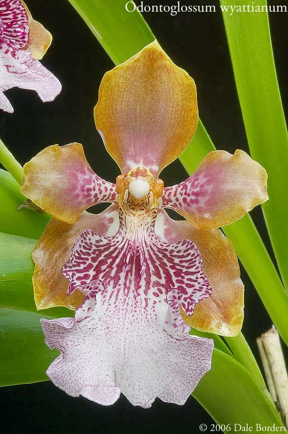 Odontoglossum wyattianum - Orchid Forum by The Orchid Source