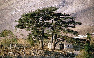 """""""L'Arz el-Rab, o Cedro di Dio, fu cosi denominato sin dall'antichità perché secondo la leggenda fu l'unico albero ad essere piantato dalle mani stesse del Creatore"""""""